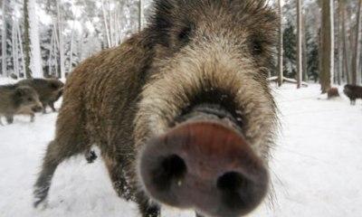 Wild Pig by Timm Schamberger: DDP