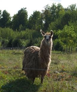 Leopold the Llama