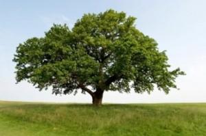 oak-tree-1
