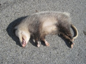 Possum Roadkill